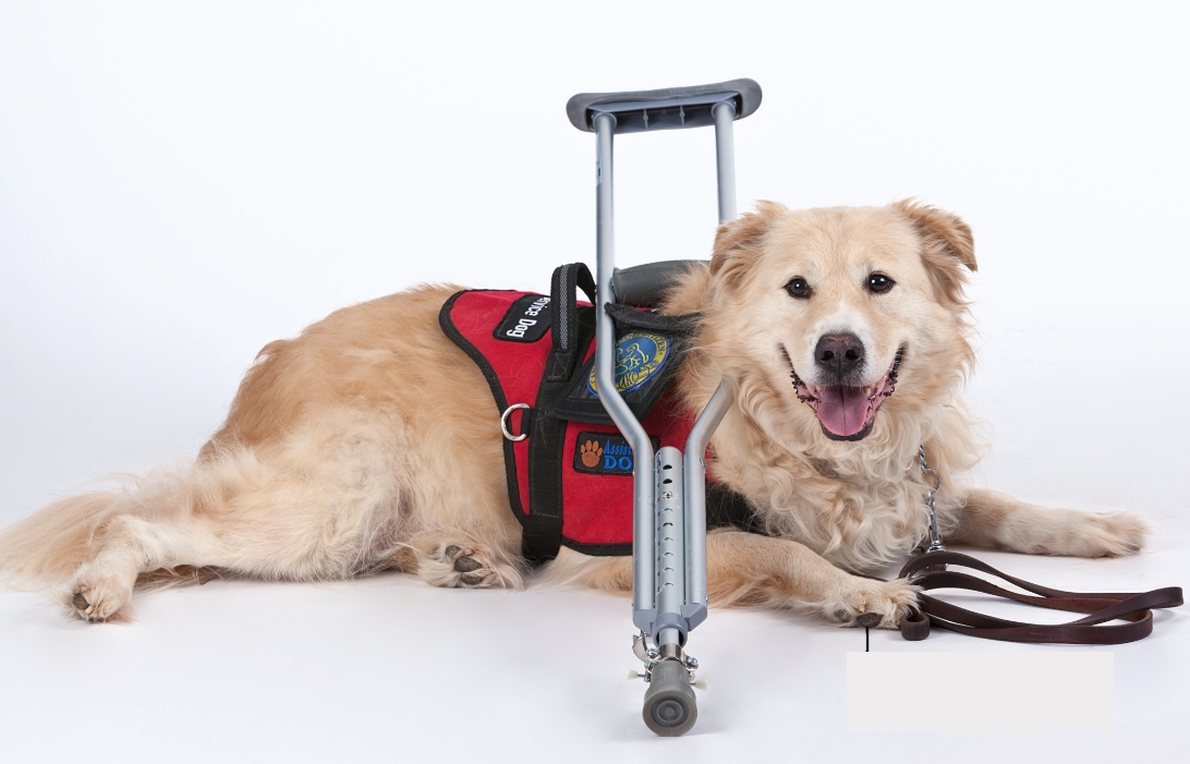 adb PHOTO from pro white service dog with cane