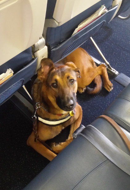 Jetblue Airlines Service Dog In Training